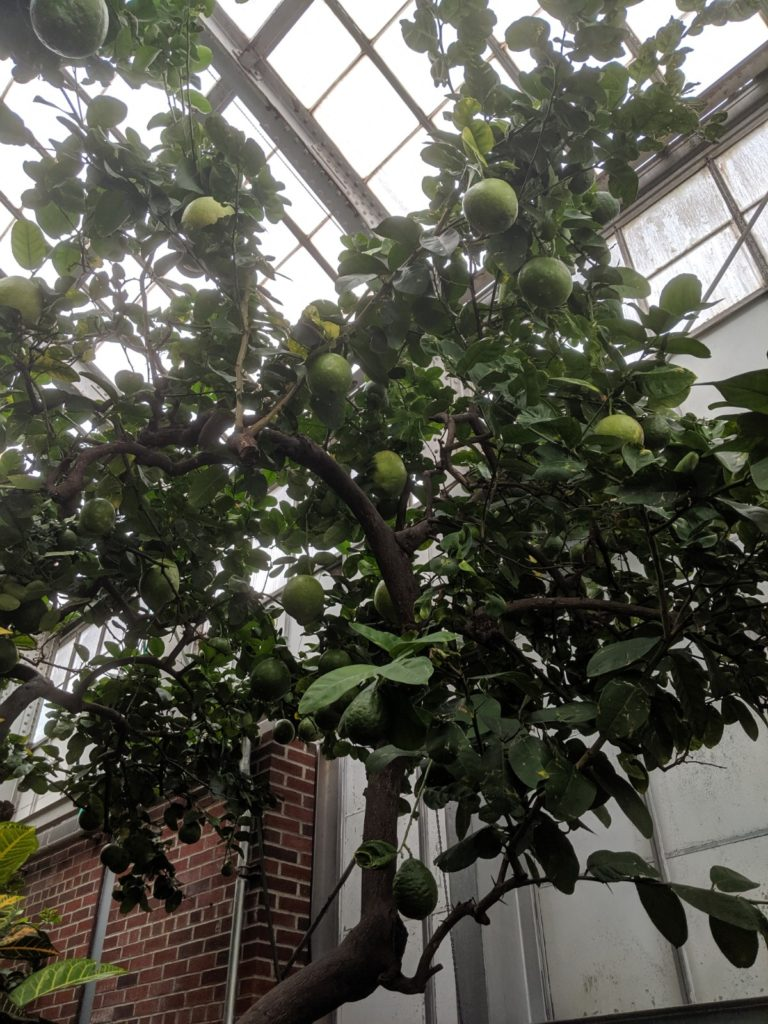Lime Tree at Greenhouse